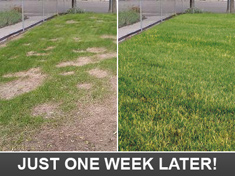 just one week later our Dallas Lanscaping team can make your yard green!